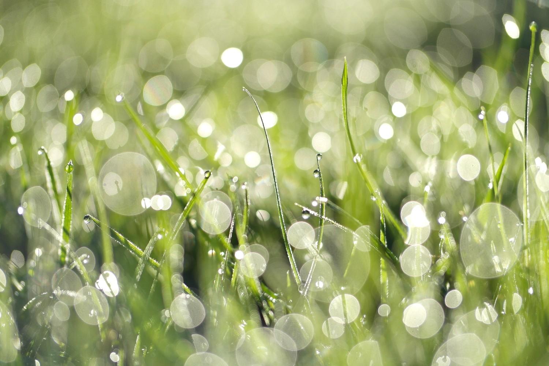 Tautropfen im Gras