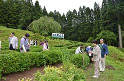 北限の檜山茶の茶園