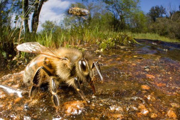 給水中のセイヨウミツバチ