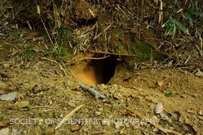 アナグマが掘り出したあと。巣穴2号