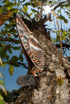 吸汁虫のヨーロッパフタオチョウ