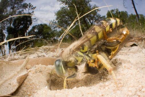 巣穴に獲物を運ぶハナダカバチの仲間