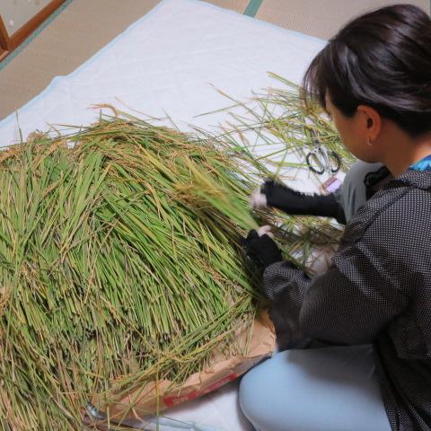 手早く大量の稲のから、綺麗なものを選別