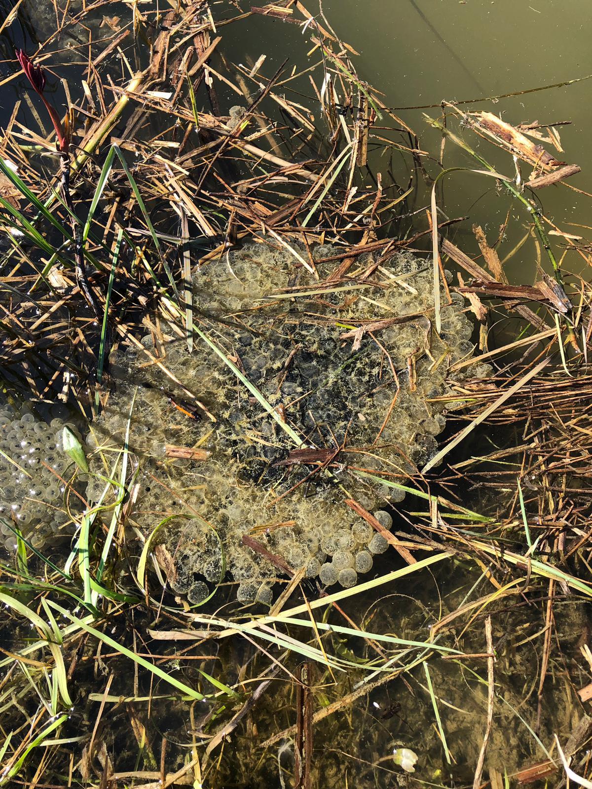 Froschlaich beim Osterspaziergang von der Familie Strehler entdeckt.