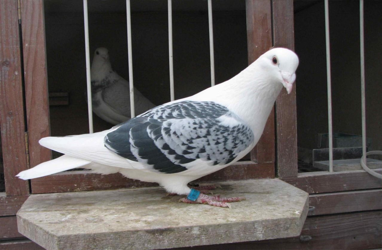 Schildige-Briftaube aus NL - Zuchtvogel von Reiner Krebs