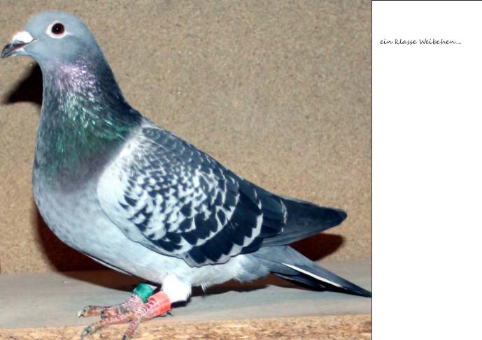Dieses Weibchen wurde speziel für den 726 gesucht - gesteigert - und von Martin zu Ludger überführt...