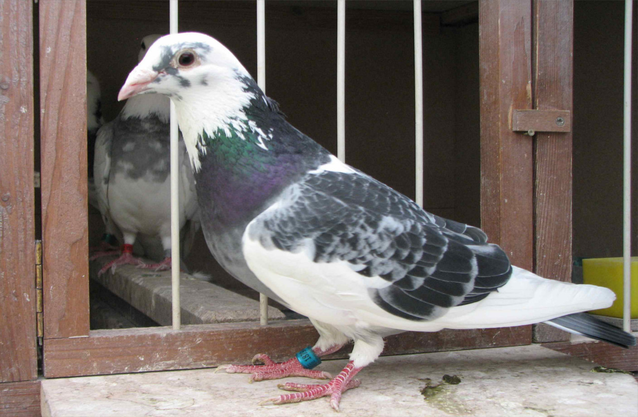 Schildige-Weitstrecken-Briftaube aus NL - Zuchtvogel von Reiner Krebs