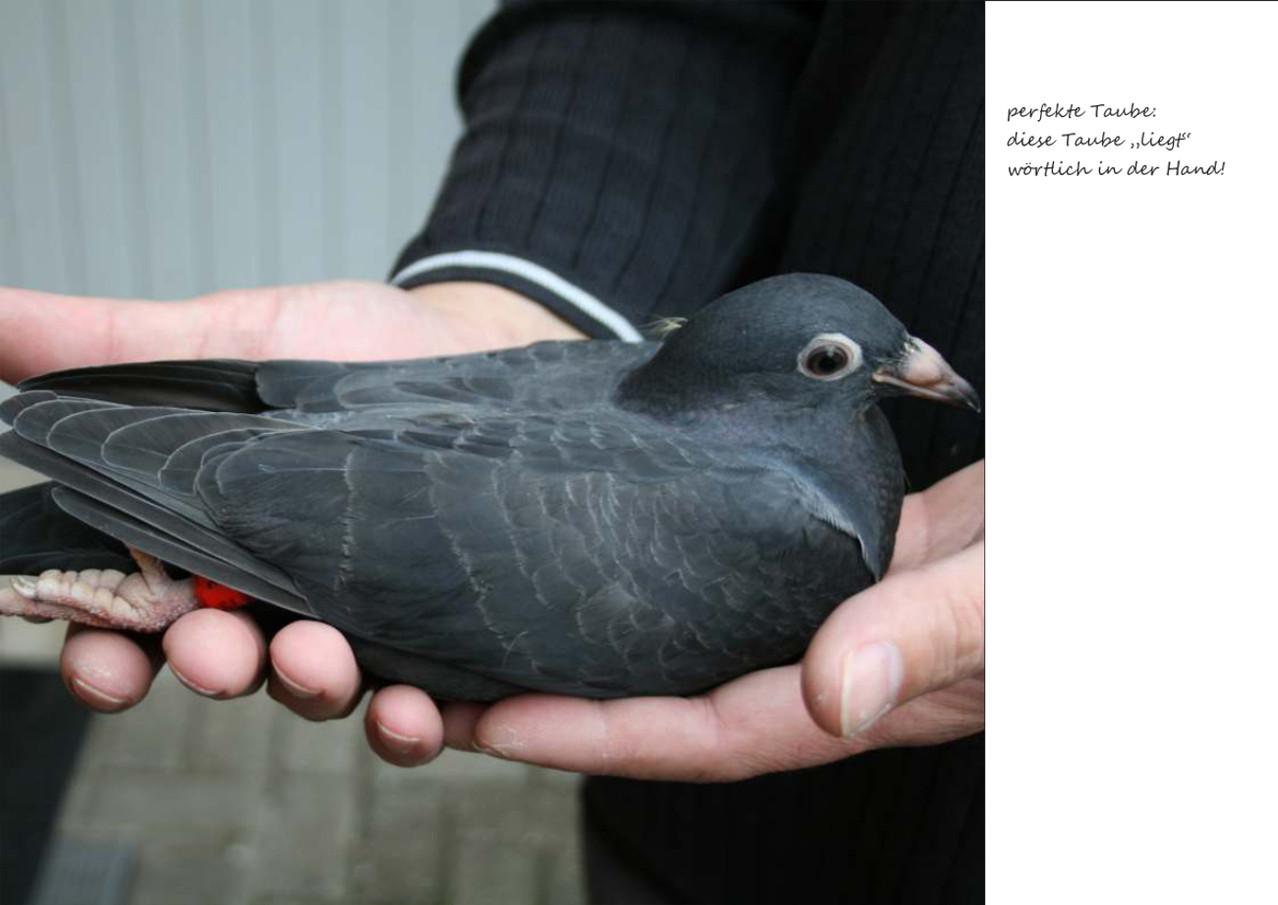 Nachzucht - 2013 - Ringloser x 215 - Flügelstudie der Gehämmerten - Jungtaube