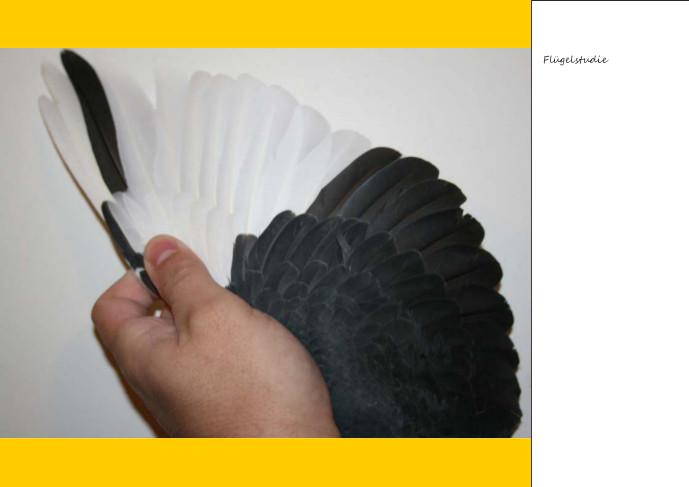 Mächtiger Flügel und das von einem Piper ( warscheindlich sogar ein Weibchen )