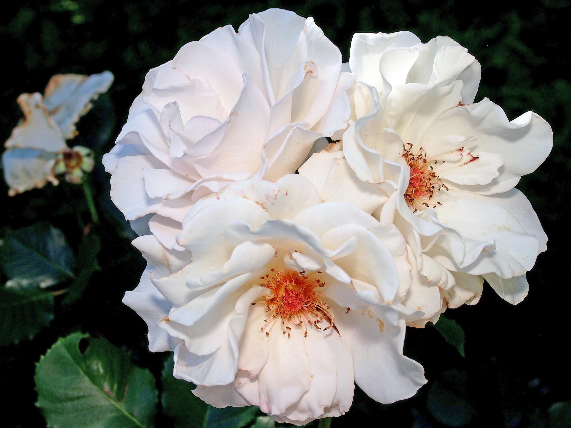 Ihre Majestät, die Rose