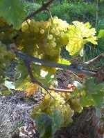 Ugni blanc druer: Foto: Antonin Nicollier
