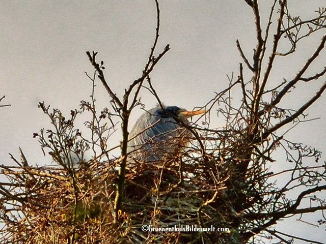 Nest eines Graureihers bei Alsfeld
