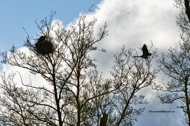 Reihernest in den Wipfeln der Bäume