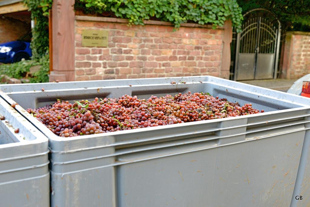 Neustadt Weinstraße / Duttweiler - Traubenbottich gefüllt mit Trauben