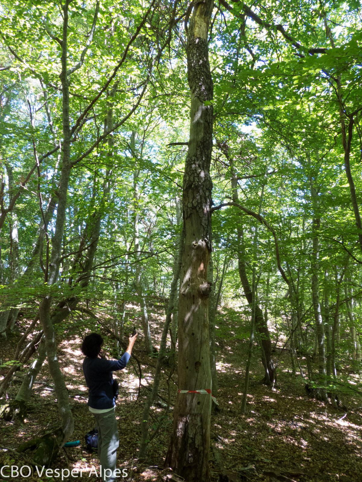 Localisation d'un gîte arboricole grâce à un individu équipé