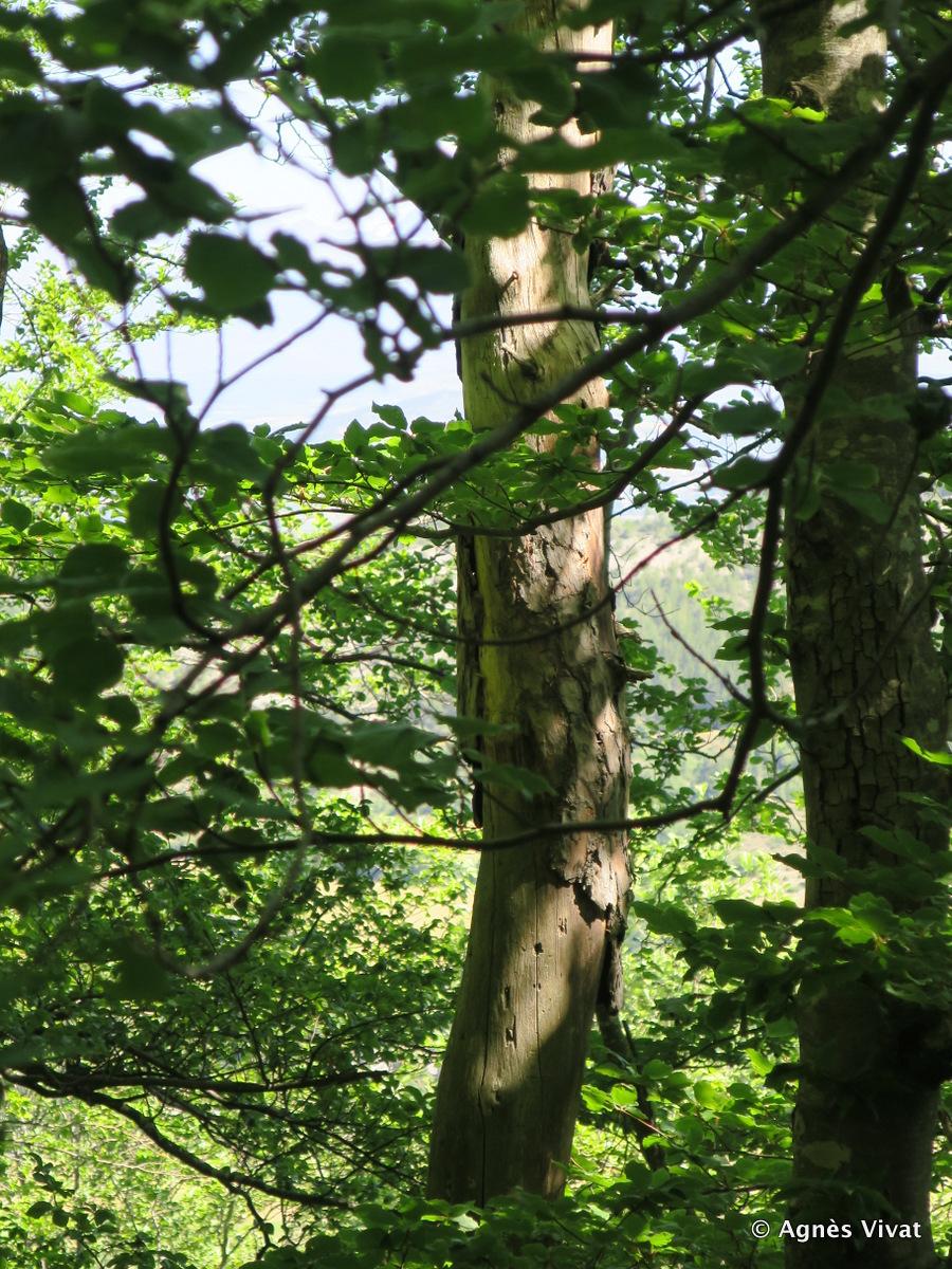 Gîte arboricole dans un pin sylvestre dépérissant