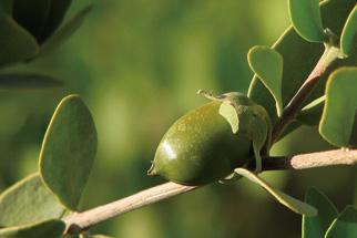 ヒマワリ種子油