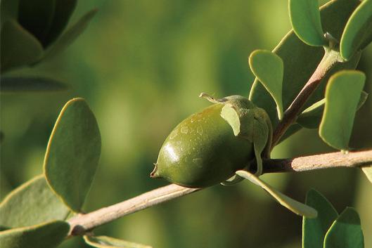 ホホバ種子油 〈植物油〉