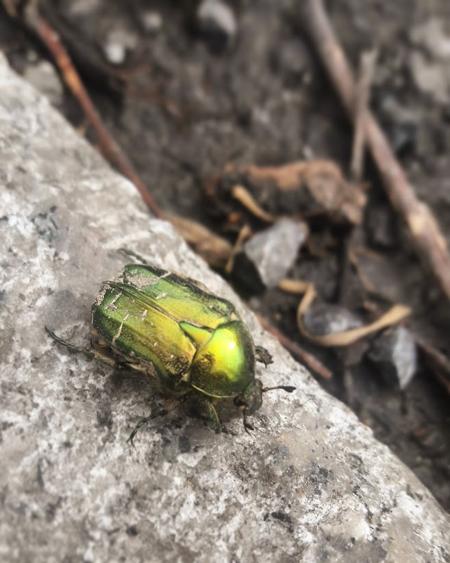 Lästiger Käfer oder lebender Edelstein?