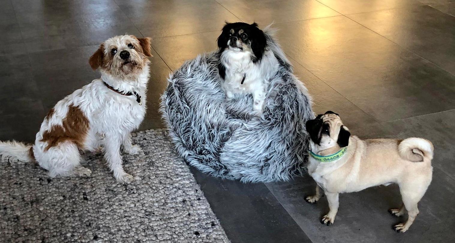 Das treue Trio: Kromi Linus, Fiete und Tibet Spaniel Berta