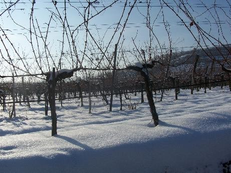 Weinstock in Winterruhe