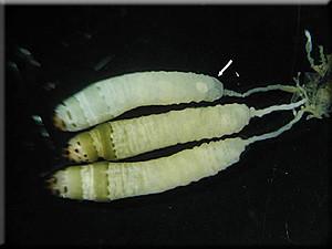 Präparierte Leucochloridium-Cercarien aus den Fühlern einer Bernsteinschnecke. Bild: Christian Fuchs .