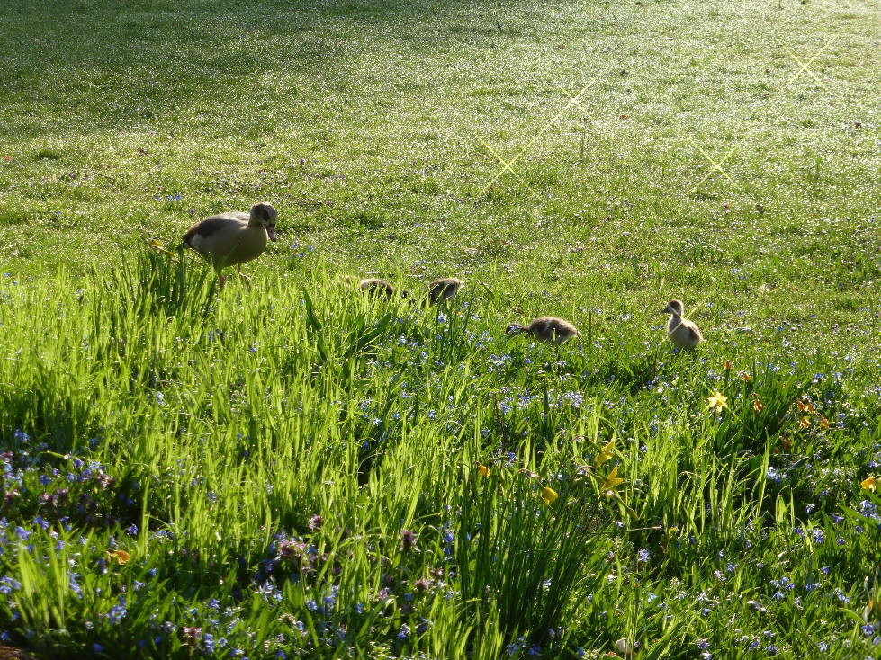 Nilgansfamilie am Stadtparksee