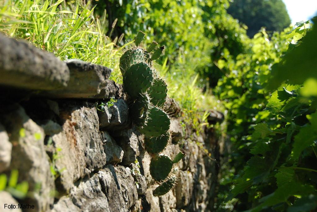 Spontan gewachsener Kaktus