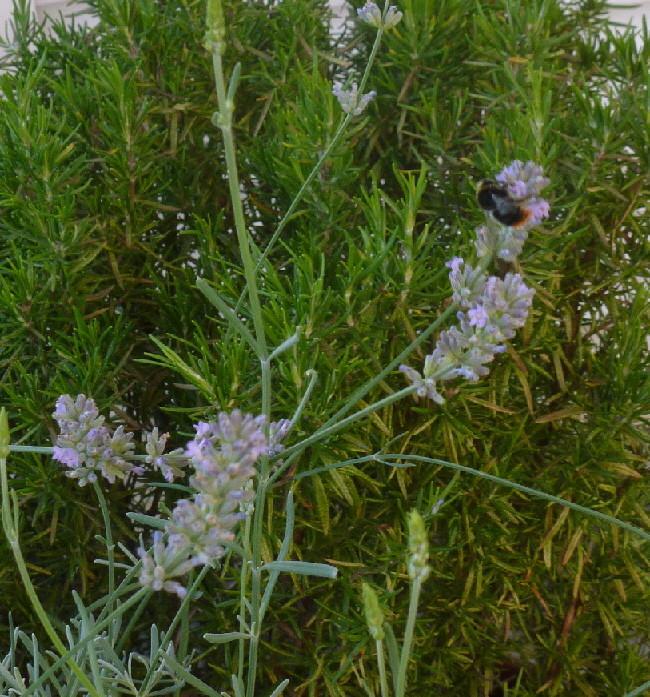Rosmarin und Lavendel