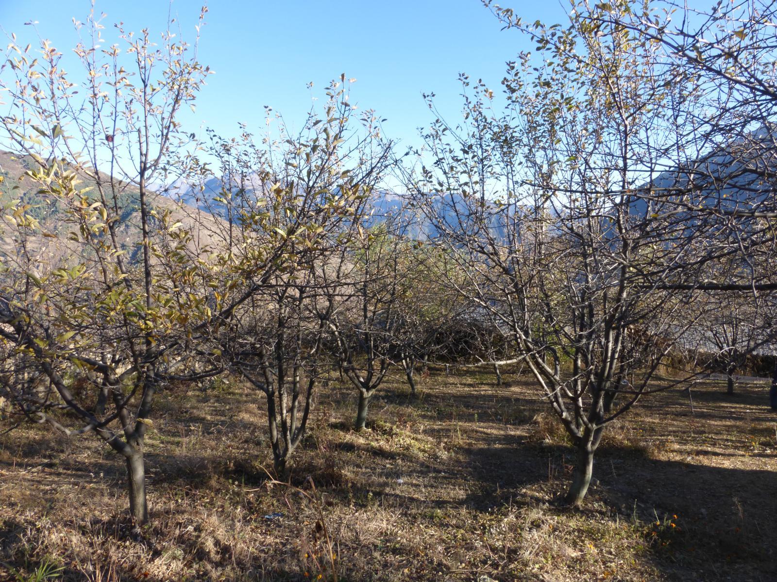 Eine Apfelplantage in Simikot