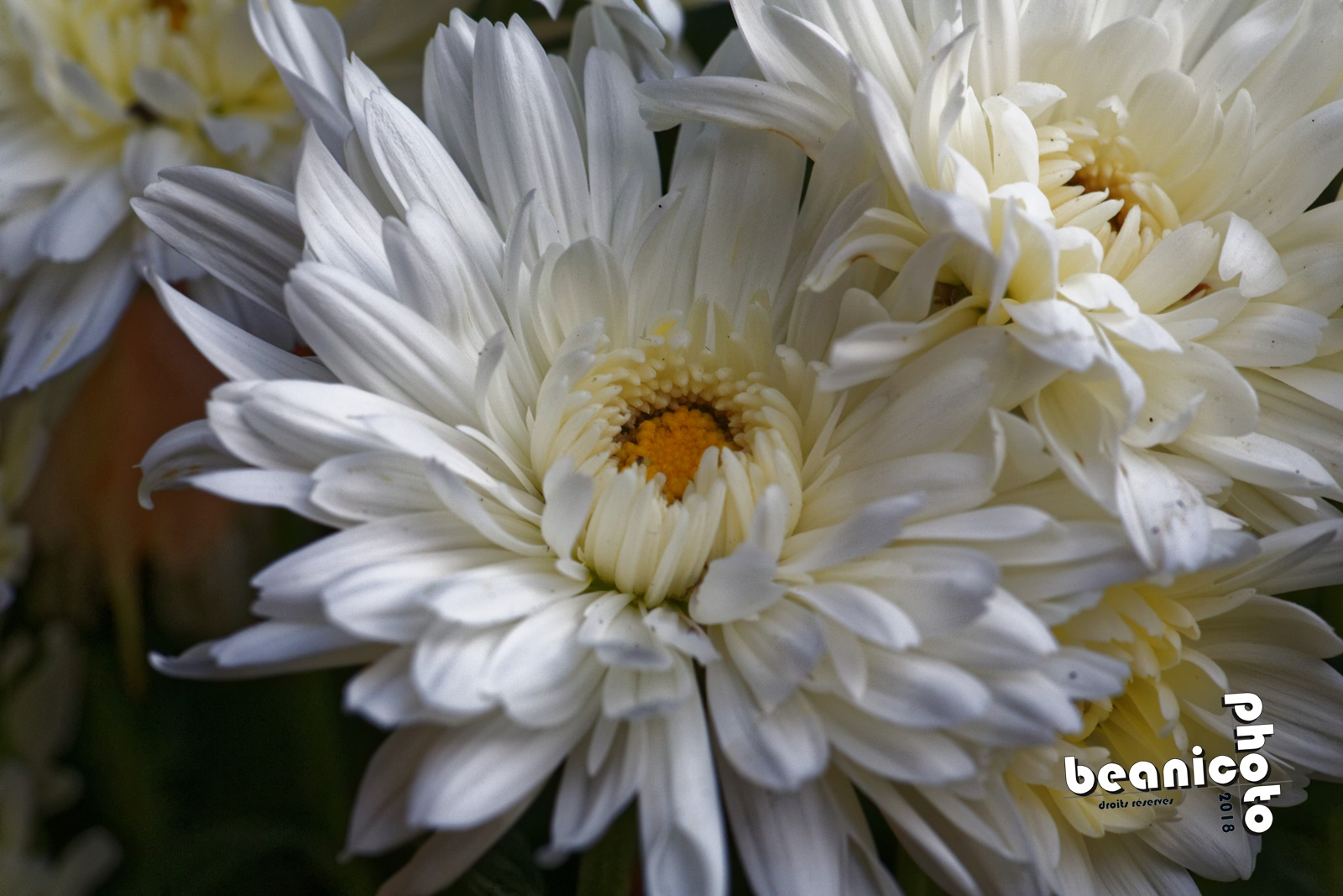 beanico-photo -Coeur de Fleur - Canon 5D IV + Tamron 90mm macro + Kenko 1,5x