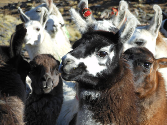 Reisen durch das Altiplano Boliviens
