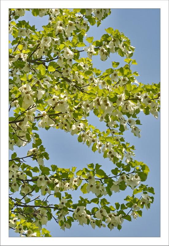 Blühender Taschentuchbaum (Davidia involucrata) Botanischer Garten Rombergpark, Dortmund