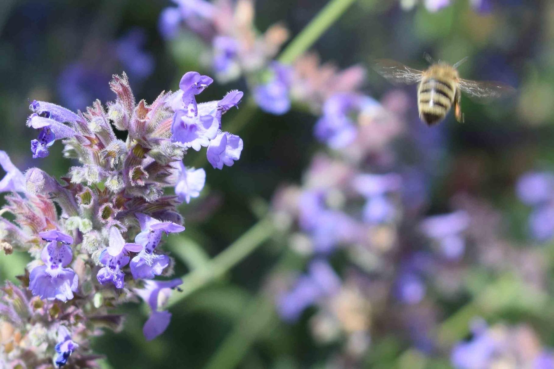 l'abeille chargée de pollen de Nepeta .....
