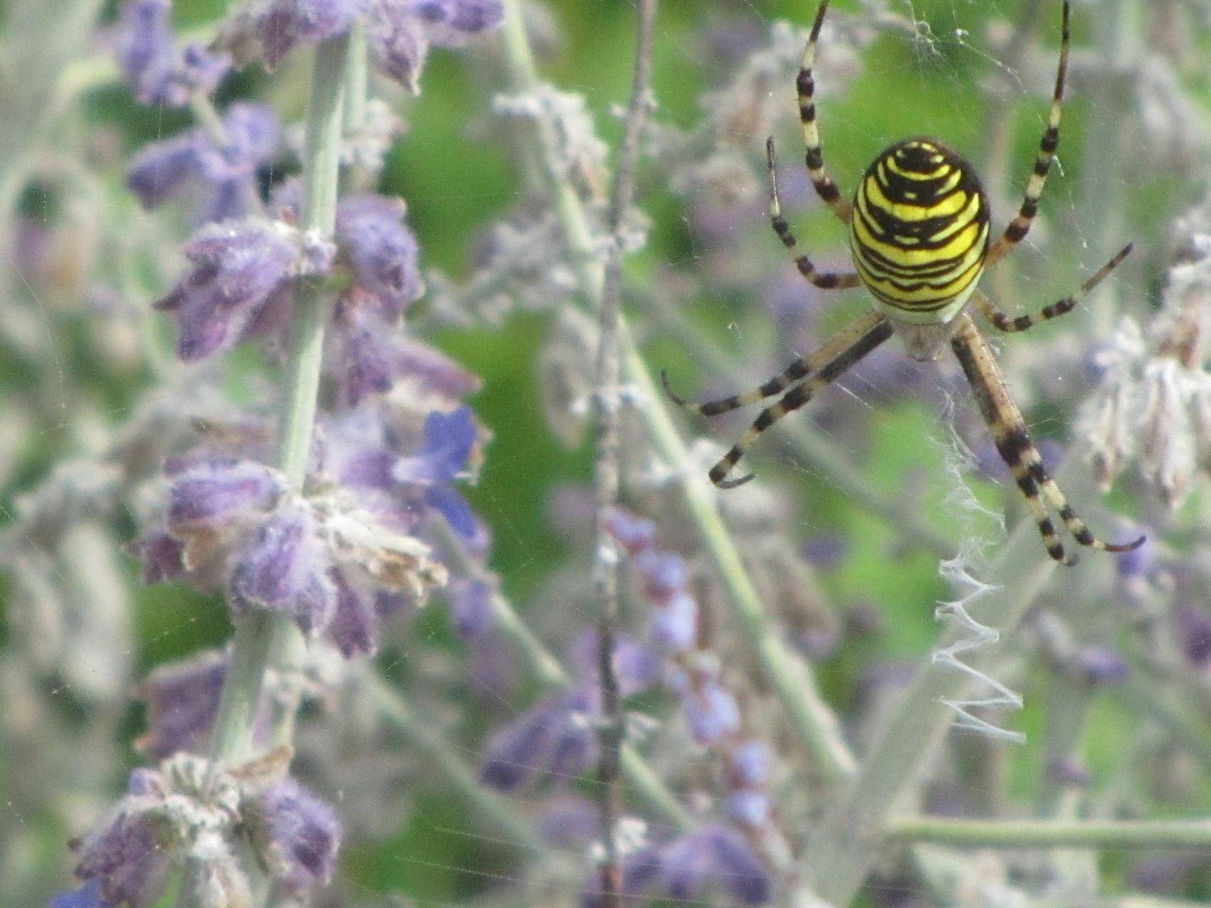 L'araignéee épeire fascié tissant sur Peroskia