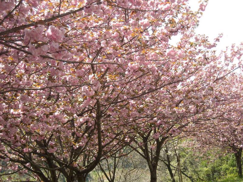 見事な満開を見せる八重桜