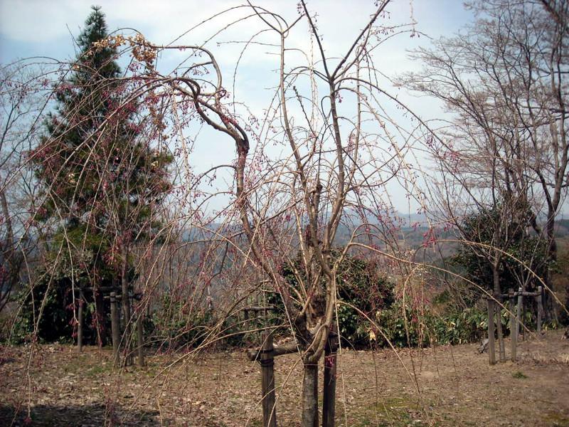 倶利迦羅不動寺境内のしだれ桜(4月14日現在、つぼみかたし)