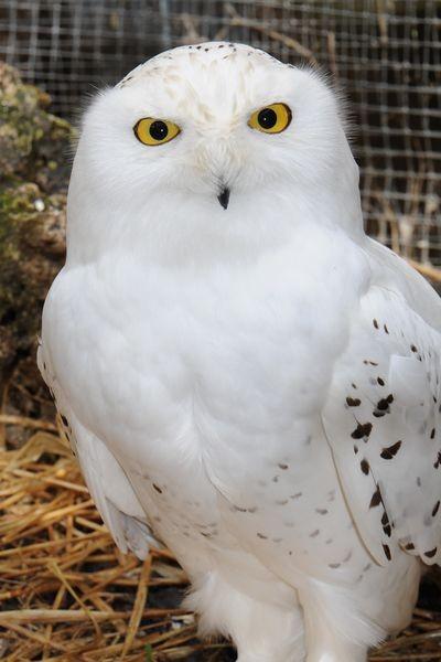 Schneeeule-Männchen