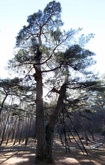 El pino Gwaneumsong (Monumento Natural de Corea Nº 349) tiene una edad estimada de 600 años. Este árbol crece en Cheongryeongpo, Yeongwol, provincia de Gangwon. Tiene unos 30 metros de altura y 5 metros de circunferencia (foto: Jeon Han).