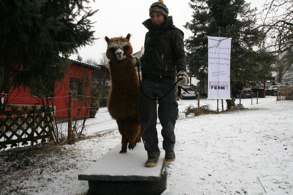 Parcourlaufen mit Alpakas