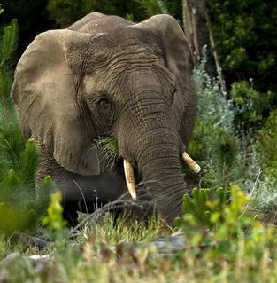 A feeding Knysna elephant by Hylton Herd (SANParks)