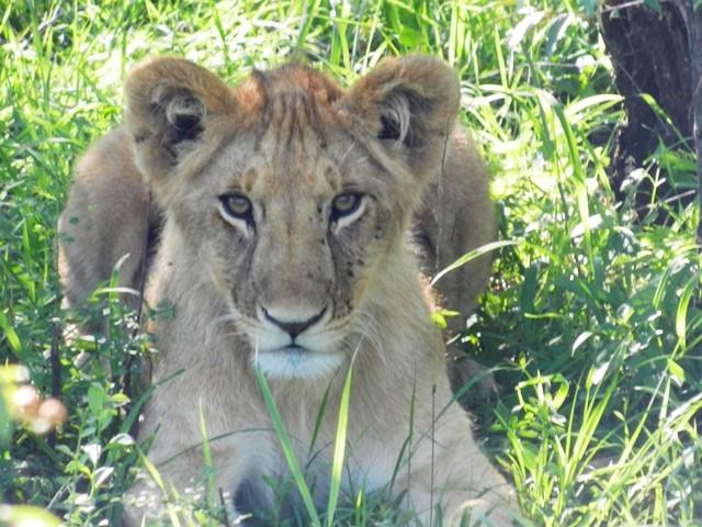 Young Lion Cub.....