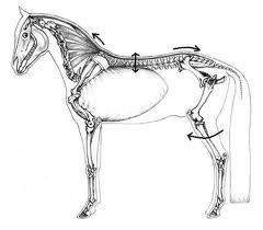 Illustration Kaja Möbius, Biomechanik, Pferd