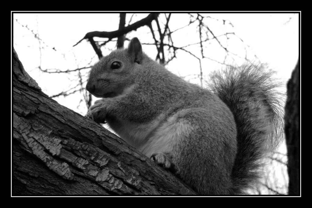 Ecureuil à Green Park