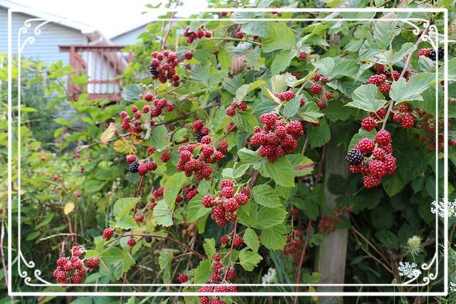 Photo of ripening blackberries