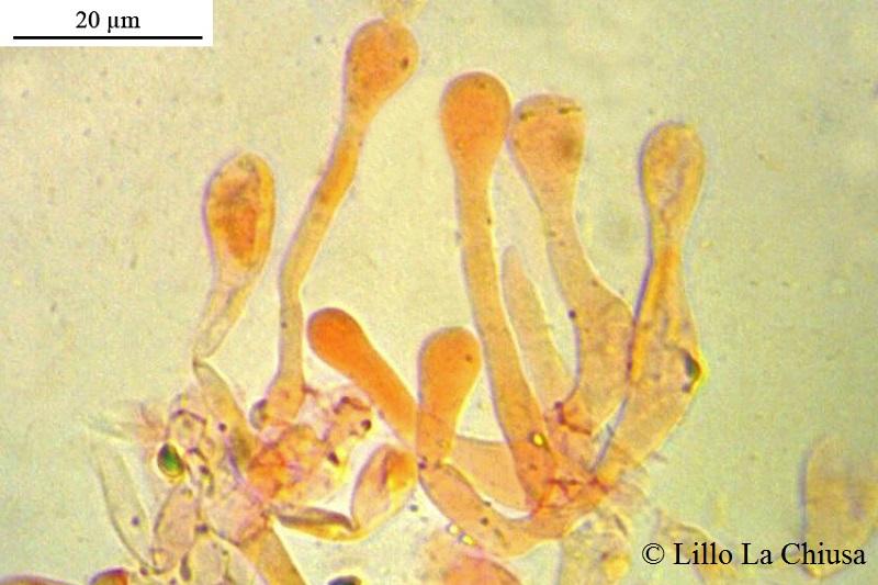 Cheilocistidi