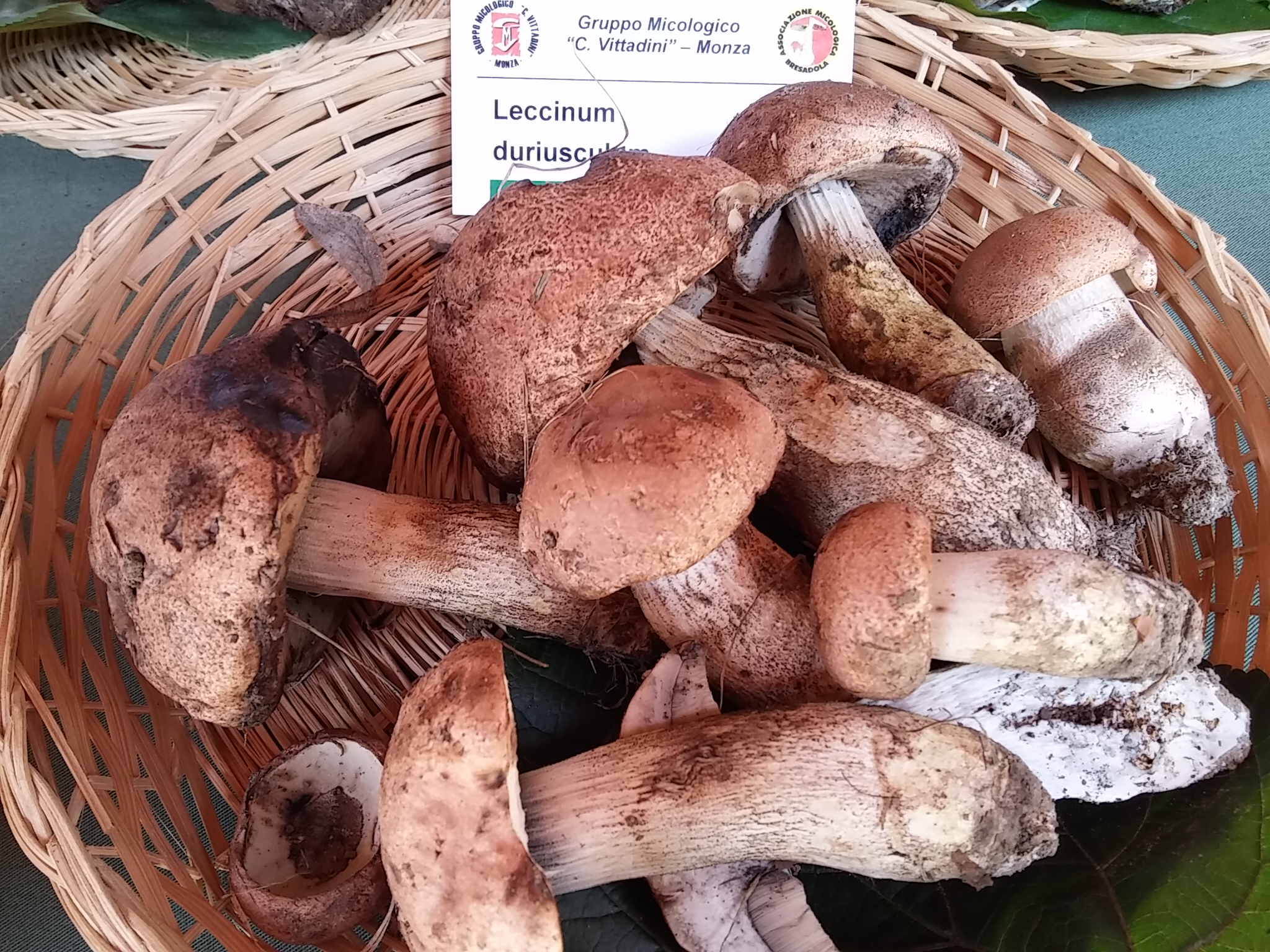 Leccinum duriusculum  (Foto Mauri)