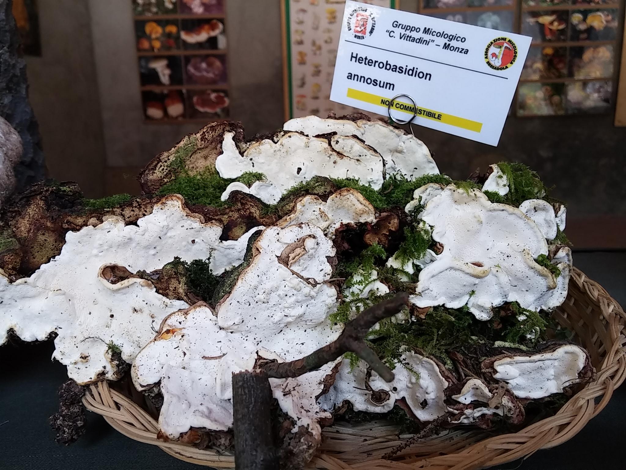 Ricco Heterobasidion annosum  (Foto Mauri)