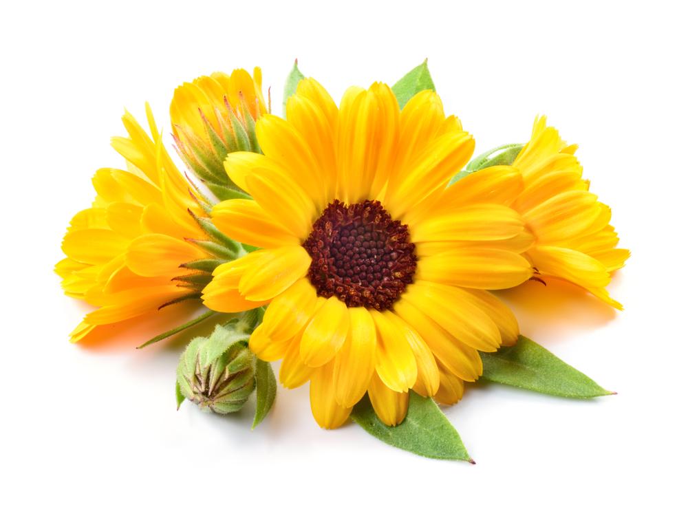 Calendulaextrakt - wundheilend dank der natürlichen Wirkung der Ringelblume