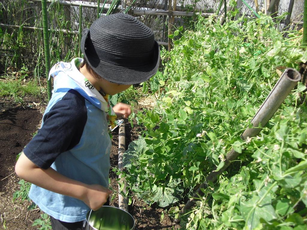 今日は、来てくれた子から、絹さやの収穫です。